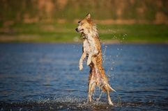Happy dog jumping up in the water Royalty Free Stock Image