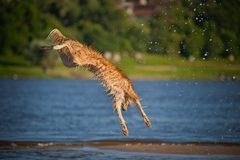 Happy dog jumping up in the water Stock Images