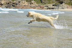 Happy dog jumps in the sea Royalty Free Stock Photo
