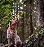 Happy dog, Labradoodle, going for a forest walk. stock photo