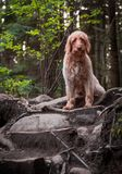 Happy dog, Labradoodle, going for a forest walk. stock photos