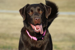Happy  dog Labrador Retriever Stock Photography