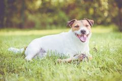 Happy dog with large ham bone for heavy chewers and dental care. Jack Russell Terrier lying down on lawn with doggy bone royalty free stock photos