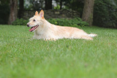 Happy dog on lawn. Happy blond dog enjoying the outdoors in the backyard Stock Image