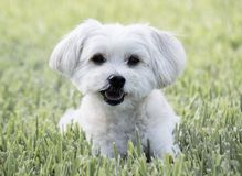 Happy dog laying on the grass. A happy white maltipoo pup laying on the grass enjoying the day royalty free stock photos