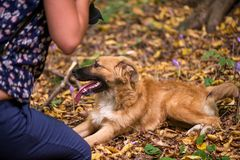 Happy dog laying on ground in forest and photographed by its owner during autumn stock image