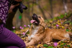Happy dog laying on ground in forest and photographed by its owner during autumn. Colorful flowers and fallen leaves all around stock images