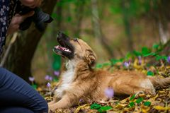 Happy dog laying on ground in forest and photographed by its owner during autumn. Colorful flowers and fallen leaves all around stock image