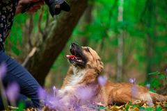 Happy dog laying on ground in forest and photographed by its owner during autumn. Colorful flowers and fallen leaves all around stock photo