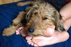 Free Happy Dog Laying On Boys Legs, Boy And Dog In Love. Welsh Terrier. Royalty Free Stock Photo - 213734615