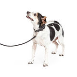 Happy Dog On Leash Looking Up Royalty Free Stock Images