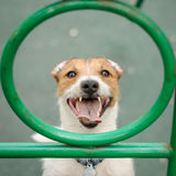 Happy dog looking into camera through circle. Jack Russell Terrier playing and posing at playground Royalty Free Stock Image