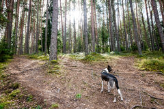 Happy dog is looking for direction in forest royalty free stock photography