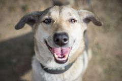 Happy dog looks up at camera smiling royalty free stock photography