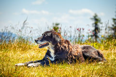 Happy dog lying on the grass. Portrait of a happy dog lying on the grass Royalty Free Stock Images