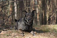 Happy dog lying on the ground in forest. Happy mixed breed dog from animal shelter lying on the ground in forest Stock Photography