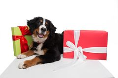 Happy dog lying near present boxes Royalty Free Stock Photography