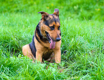 Happy dog in the meadow Royalty Free Stock Images