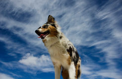 Happy dog. A mix between Australian Shepherd and Border Collie. Blue sky background Royalty Free Stock Photos