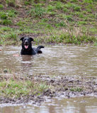 Happy dog in a mud hole. Dog playing at a park in a mud hole stock photography