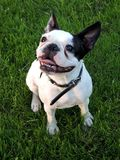 Happy dog. My friends French Bulldog. He was rescued from  his earlier life with a bad family Stock Photo