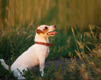 Happy dog outdoors Royalty Free Stock Image