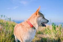 Happy dog panting hiking at grassy fields Stock Photography