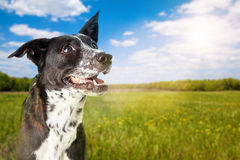 Happy Dog At Park On Sunny Day. A cute and happy Border Collie crossbreed dog at a park on a sunny summer day Royalty Free Stock Images