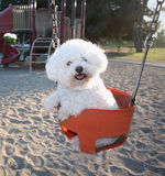 Happy Dog On Park Swing. Smiling, happy, playful little Bichon Frise  dog having fun outdoors in a swing at the park Royalty Free Stock Photography