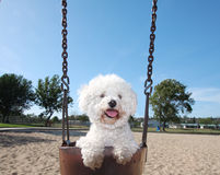 Happy Dog On Park Swing. Smiling, happy, playful Bichon Frise little dog having fun outdoors in a swing at the park on a nice sunny day Royalty Free Stock Photos