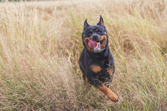 Happy Dog. Happy pet, rottweiler. Jumping in the grass Stock Photography