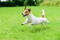 Happy dog pet running on a lawn. Funny playing Jack Russell Terrier Royalty Free Stock Photography