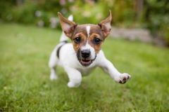 Funny Happy running puppy dog. A playful puppy dog running around in the garden while looking straight into the lens Royalty Free Stock Image