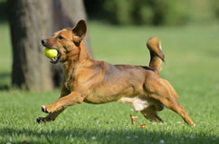 Happy dog playing with ball. A brown happy little dog is playing with a tennis ball in a green garden in a beautiful summer day Stock Photography