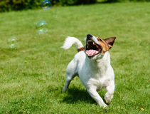 Happy dog playing and catching soap bubbles Stock Photo