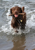 Happy Dog Playing Fetch. A happy dog playing fetch in the river stock image