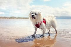 Happy dog playing fetch on the beach. Happy dog playing fetch in the sea on the beach Stock Image