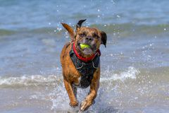 Happy Dog playing fetch on a seaside sandy beach stock image