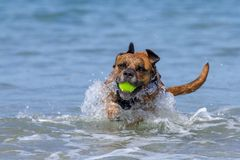 Happy Dog playing fetch on a seaside sandy beach royalty free stock images