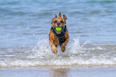 Happy Dog playing fetch on a seaside sandy beach. Pembrokeshire, UK stock photo