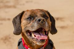 Happy Dog playing fetch on a seaside sandy beach royalty free stock photo