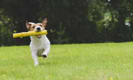 Happy dog playing and fetching toy stick at back yard Stock Photos