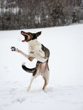 Happy dog is playing in the snow. Happy dog is playing in the winter snow. catching snowballs Stock Images