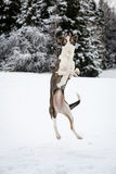 Happy dog is playing in the snow Stock Photos