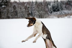 Happy dog is playing in the snow Royalty Free Stock Photo