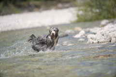 Happy dog playing in water Stock Photo