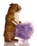 Happy dog with pompoms Royalty Free Stock Images