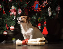 Happy dog with present under New Year Tree. Jack Russell Terrier with giant leg Royalty Free Stock Photo