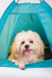 Happy dog in private tent house Stock Images