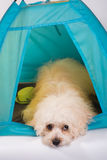 Happy dog in private tent house Royalty Free Stock Photography